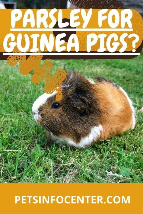 Parsley For Guinea Pigs? Selecting The Right Food For Your Pet