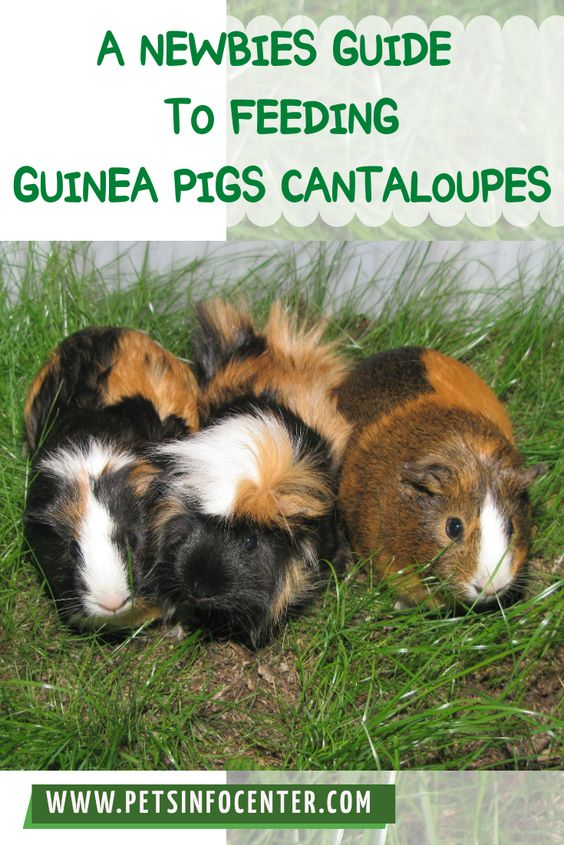 A Newbies Guide To Feeding Guinea Pigs Cantaloupes