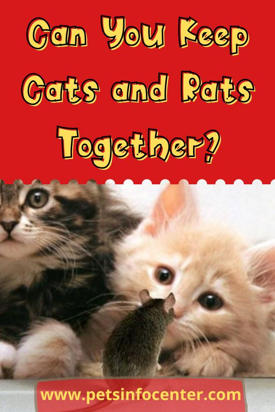 Can You Keep Cats and Rats Together?