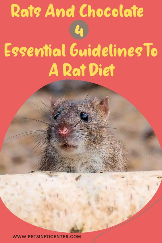 Rats And Chocolate 4 Essential Guidelines To A Rat Diet