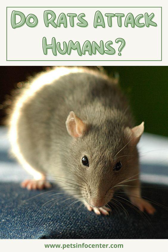 Do Rats Attack Humans?