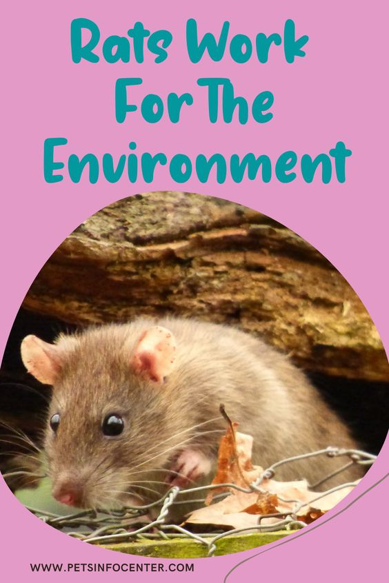 Rats Work For The Environment