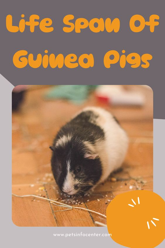 Life Span Of Guinea Pigs