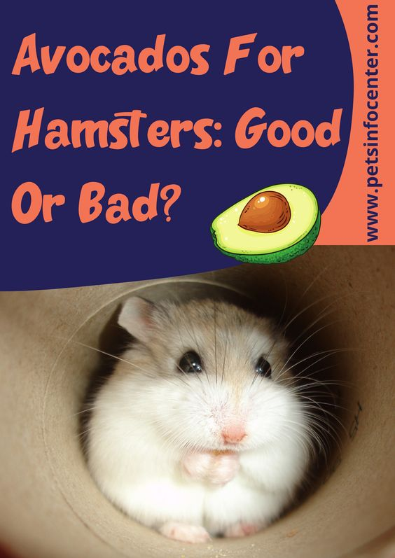 Avocados For Hamsters: Good Or Bad?