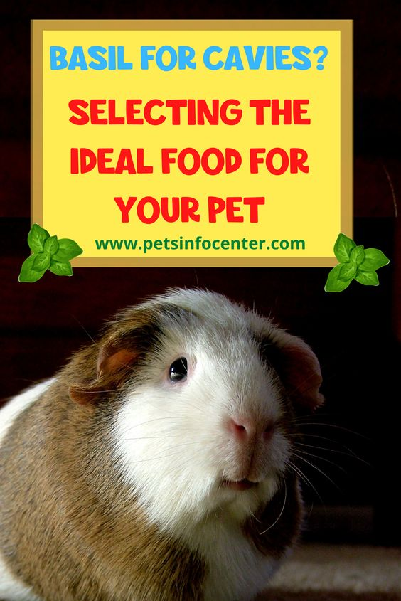 Basil For Cavies? Selecting The Ideal Food For Your Pet