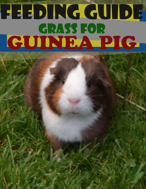 A Newbie's Guide To Feeding Guinea Pigs Grass