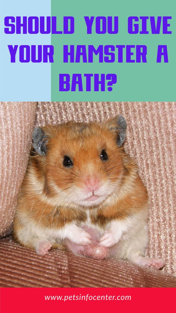 Should You Give Your Hamster A Bath?