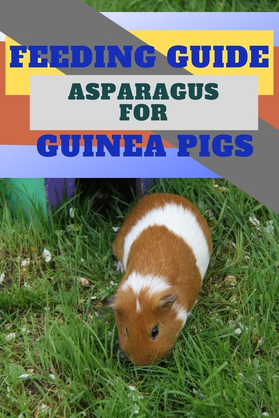 A Newbies Guide To Feeding Guinea Pigs Asparagus