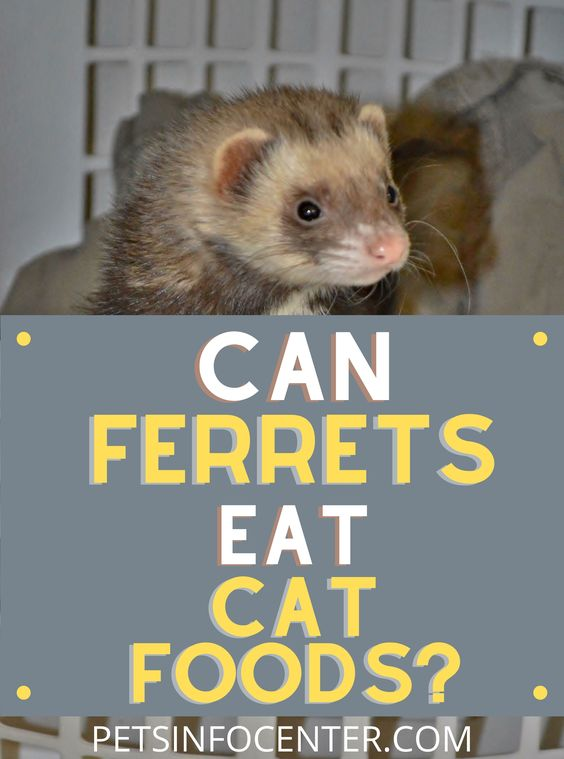 Can Ferrets Eat Cat Food?