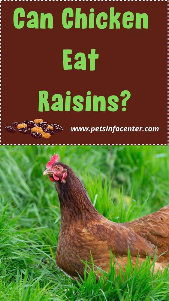Can Chickens Eat Raisins?