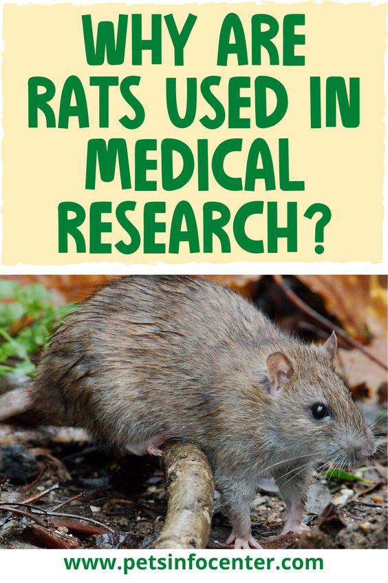 Why Are Rats Used In Medical Research?