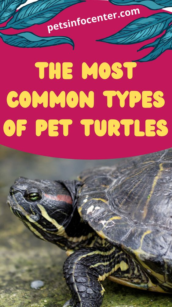 The Most Common Types of Pet Turtles