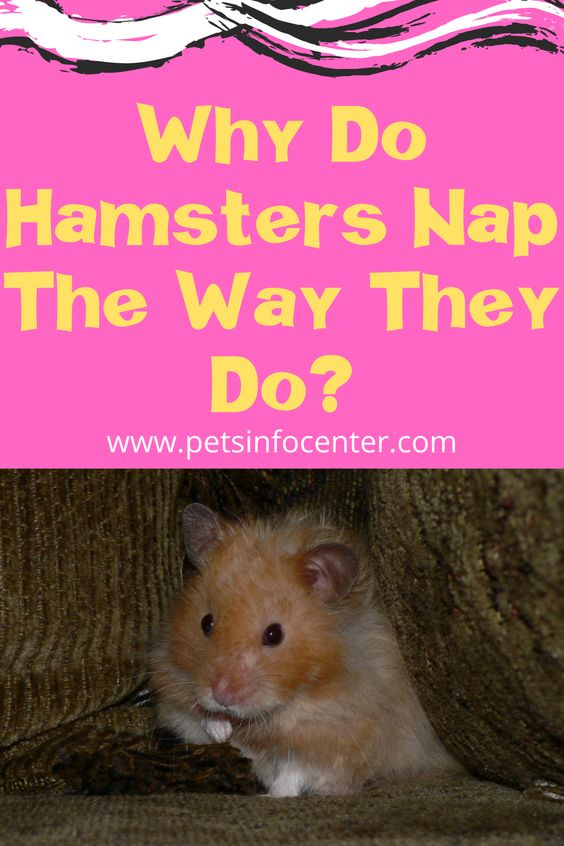 Why Do Hamsters Nap The Way They Do?