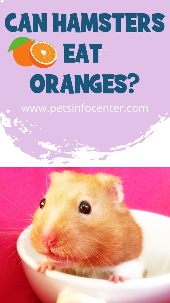 Can Hamsters Eat Oranges?
