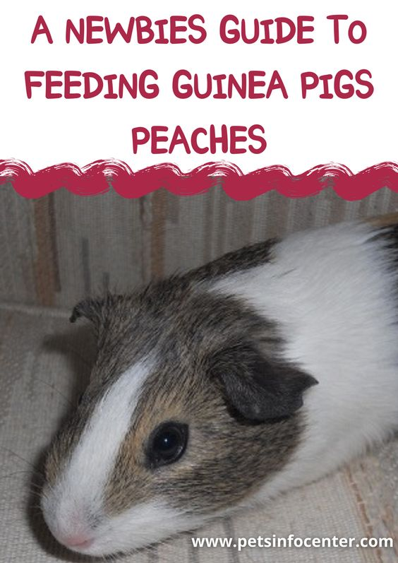 A Newbies Guide To Feeding Guinea Pigs Peaches