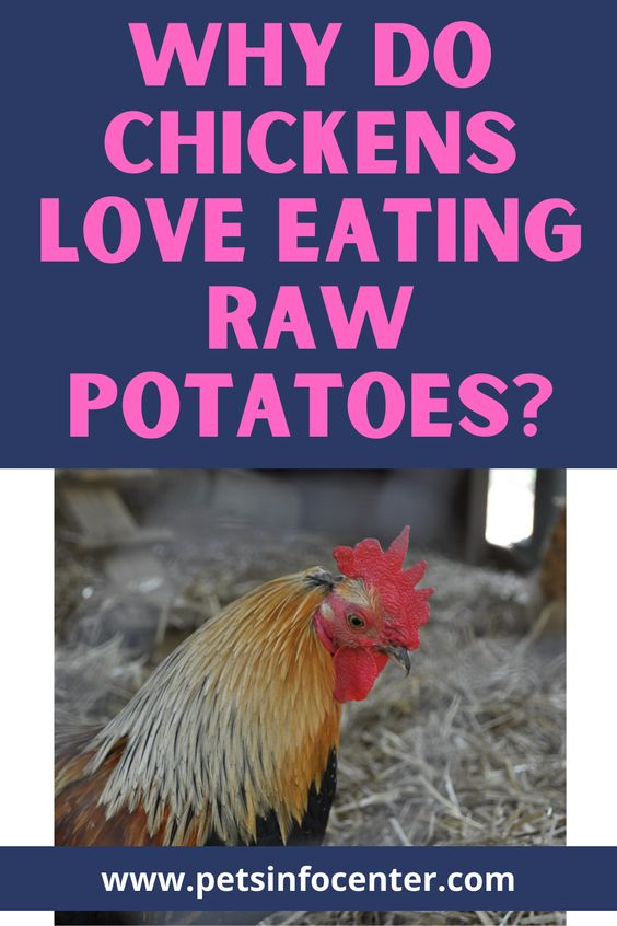 Why Do Chickens Love Eating Raw Potatoes?