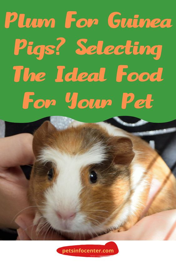 Plum For Guinea Pigs? Selecting The Ideal Food For Your Pet