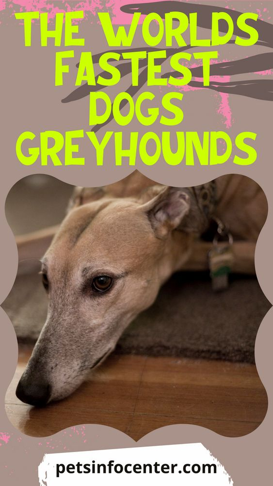 The Worlds Fastest Dogs Greyhounds