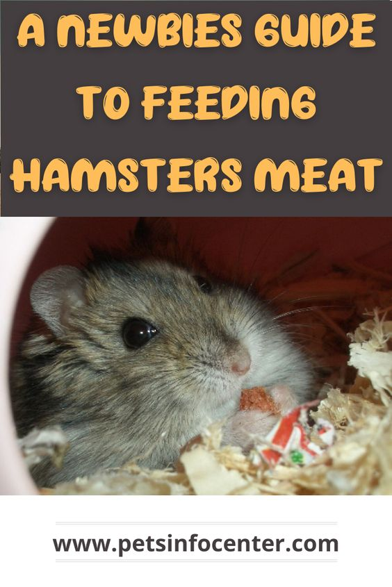 A Newbies Guide To Feeding Hamsters Meat