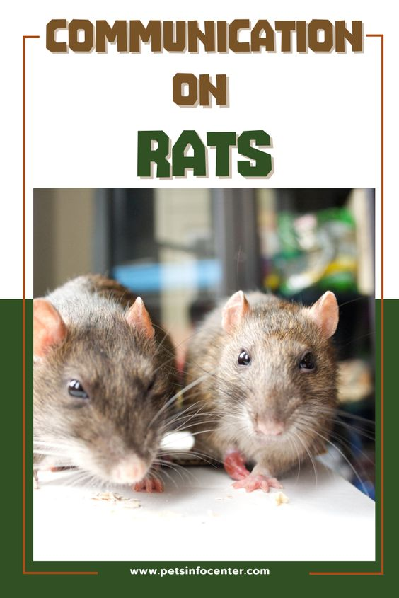 Communication In Rats