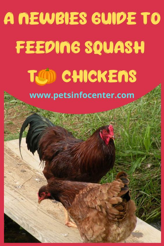 A Newbies Guide To Feeding Squash To Chickens