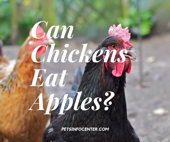 Can Chickens Eat Apples_