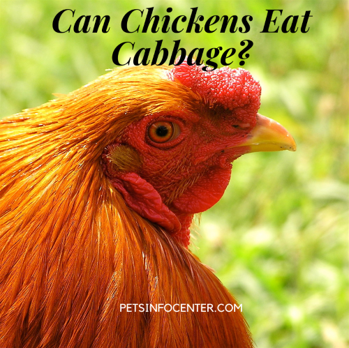 Can Chickens Eat Cabbage_