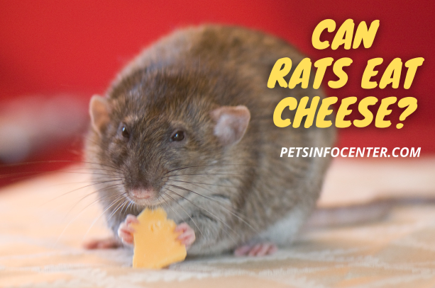 Can Rats Eat Cheese_