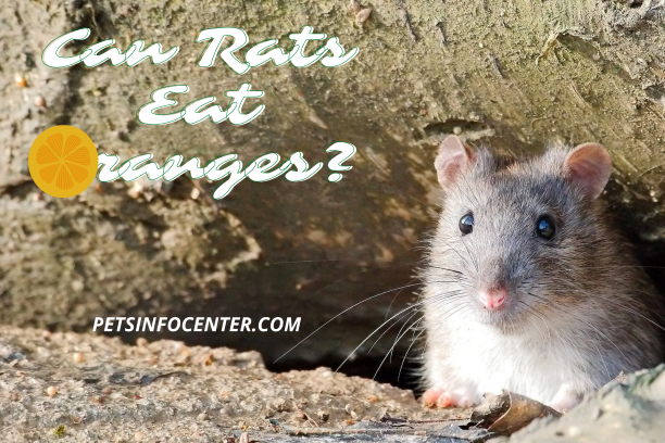 Can Rats Eat Oranges