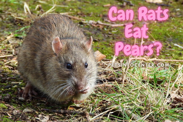 Can Rats Eat Pears