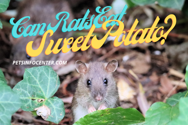 Can Rats Eat Sweet Potato