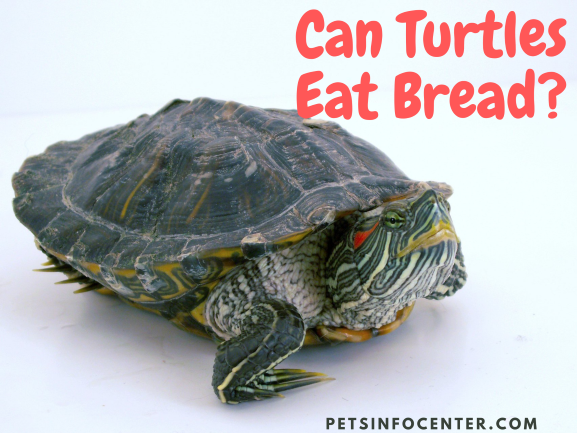 Can Turtles Eat Bread