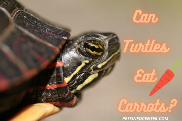 Can Turtles Eat Carrots_