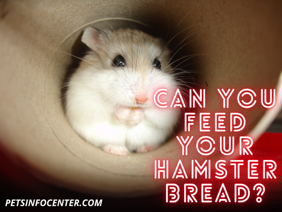 Can You Feed Your Hamster Bread_