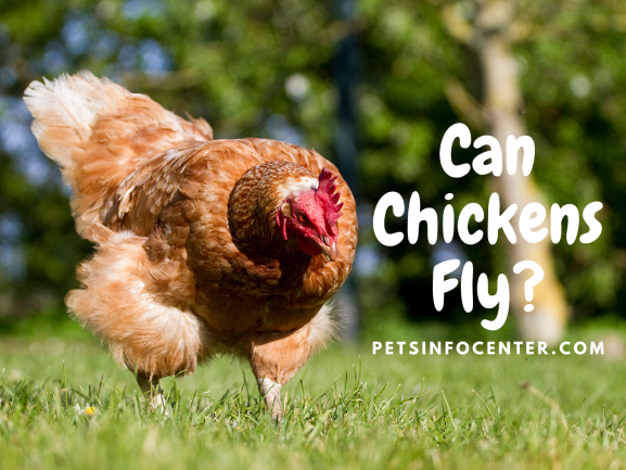 Can Chickens Fly_