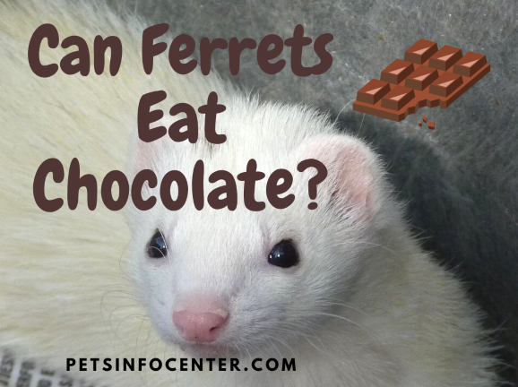 Can Ferrets Eat Chocolate_