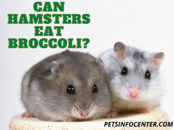 Can Hamsters Eat Broccoli_