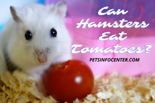 Can Hamsters Eat Tomatoes_