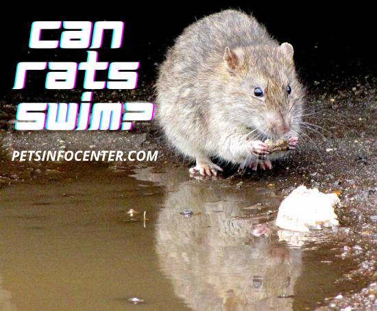 Can Rats Swim_
