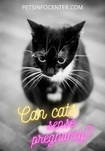 Can Cats Sense Pregnancy? - Pets Info Center