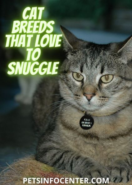 Cat Breeds That Love To Snuggle