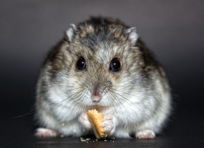 can hamsters eat cantaloupe
