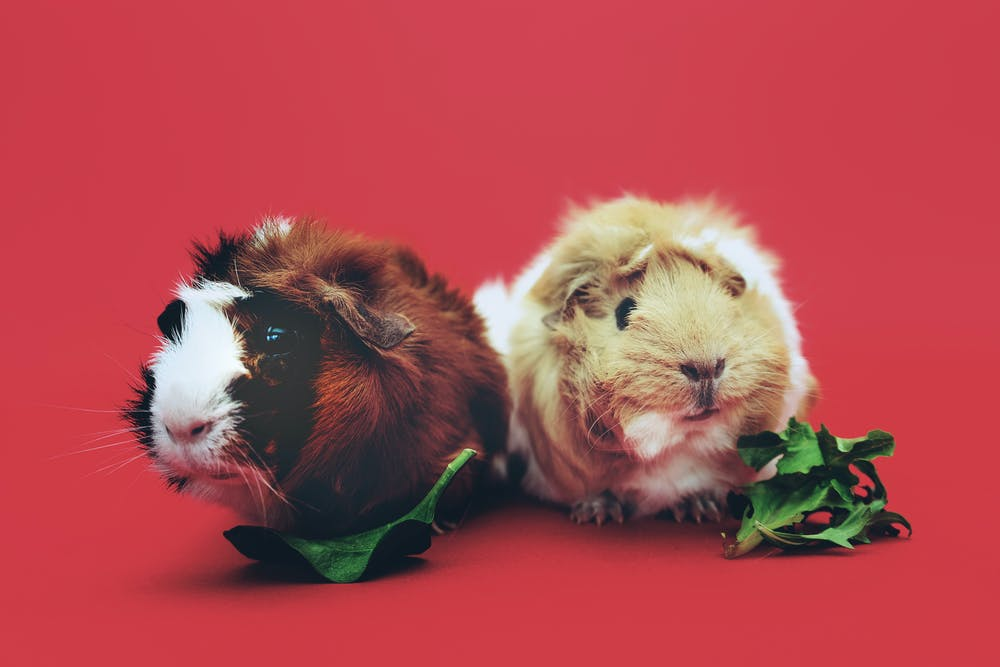 can guinea pigs have mushrooms