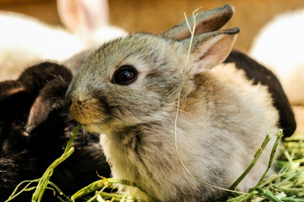 can bunnies eat sweet potatoes