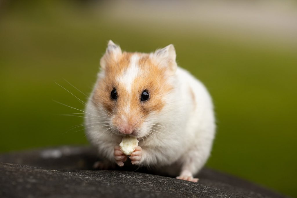 can hamsters eat peppers