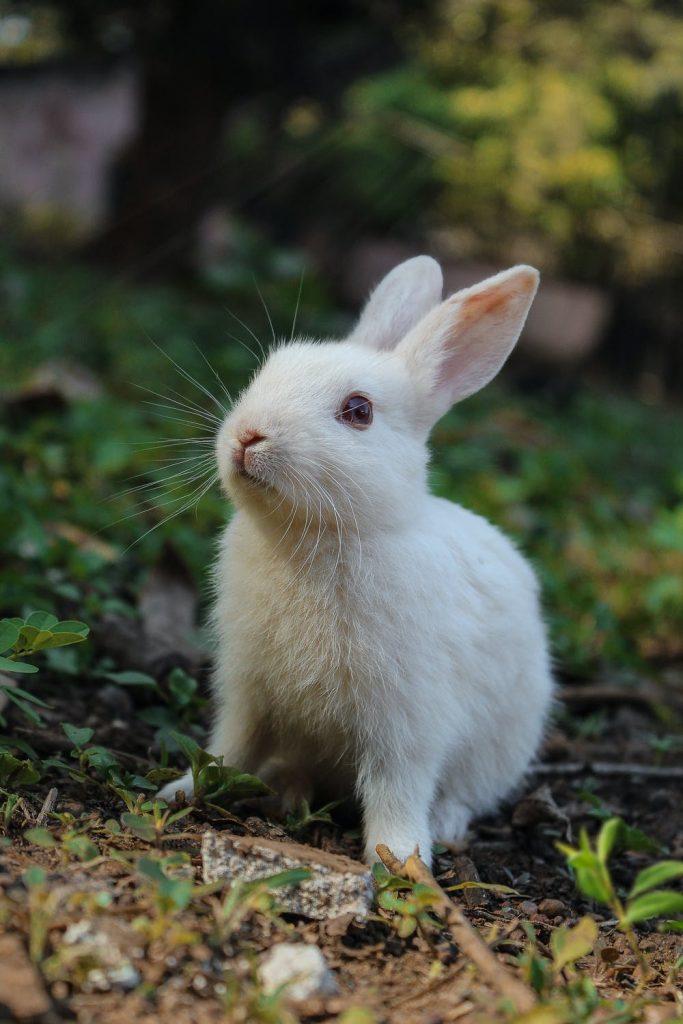 can rabbits eat bok choy
